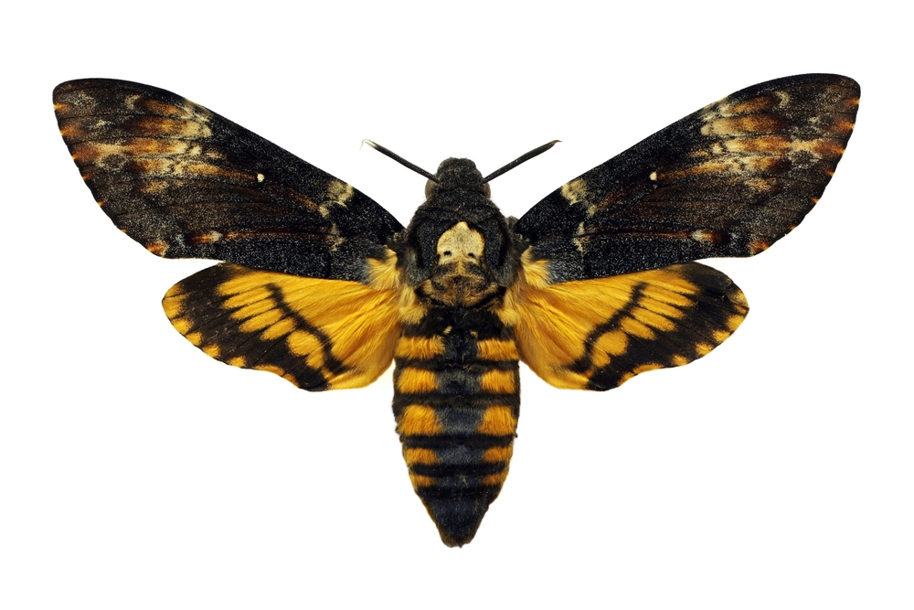 Dorsal view of the Death's-head Hawkmoth